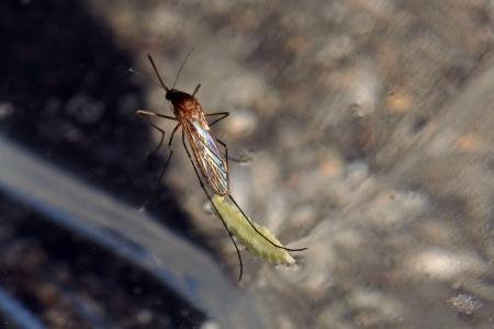 Een zeldzame opname - Een mug legt eieren op het wateroppervlak Stockfoto