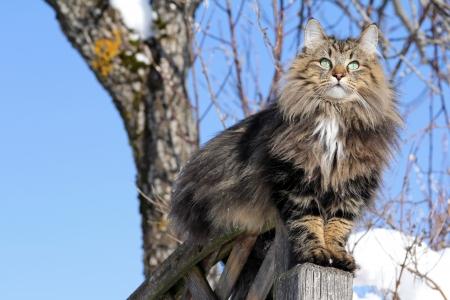 Young Norwegian cat on a lookout Reklamní fotografie