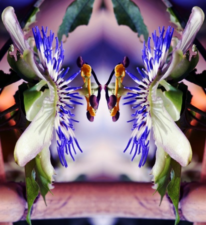 Digiart - The flower of passion fruit photo
