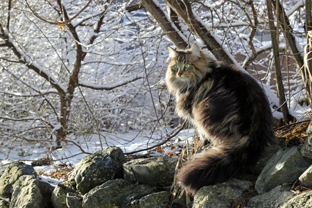 A pretty Norwegian Forest Cat with Winterfell Stock Photo