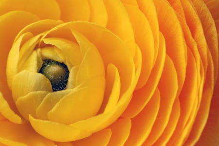 The yellow petals of a Ranunculus