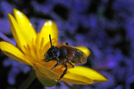 A Bee on a Marigold photo