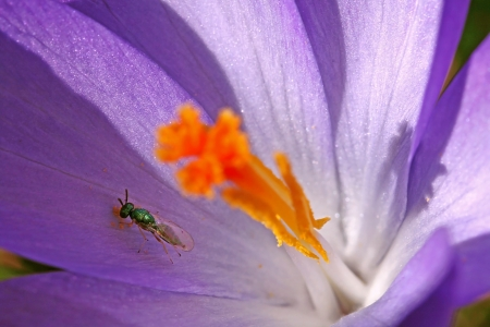 A small mosquito searches for food in a crocus photo