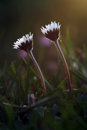 Two daisies in the evening light