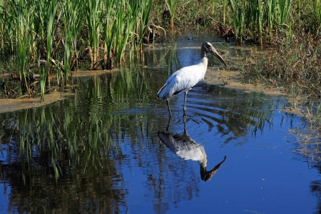 A big American forest stork with the food search in waters
