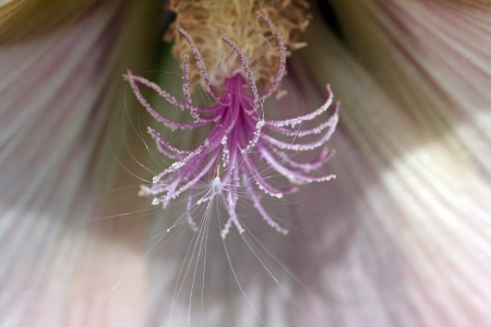 Close up of a hollyhock photo