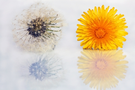 Dandelions and dandelion flower with reflection photo