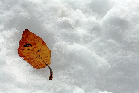 At an early winter the leaves end up in the snow