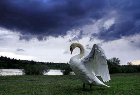 A swan under the storm clouds in the sky Stock Photo - 20364203