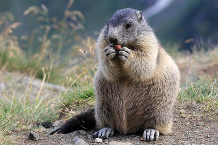 A groundhog eating on the mountains of Austria