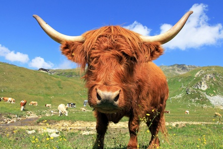 Wide angle shot of a Scottish Highland Cattle