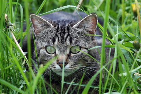 A cat in the grass just before the attack photo