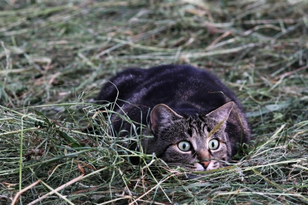 A cat lurking in the hay in mice photo