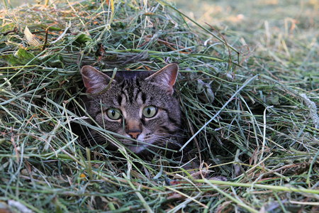 A cat shortly before the attack in the hay photo