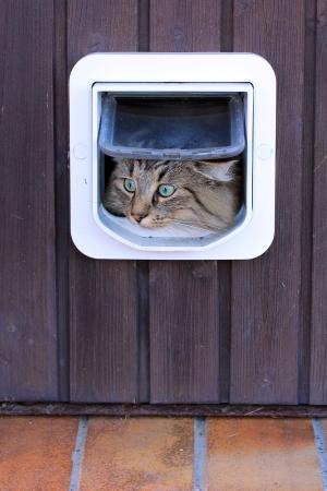 Een Noorse kat gaat door het kattenluik Stockfoto