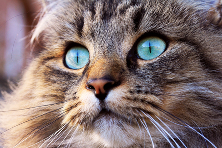 The beautiful eyes of a Norwegian Forest Cat photo