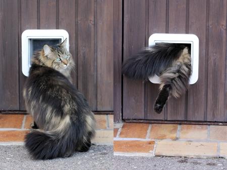 콜라주 - 노르웨이 고양이는 고양이 플랩을 통과합니다.