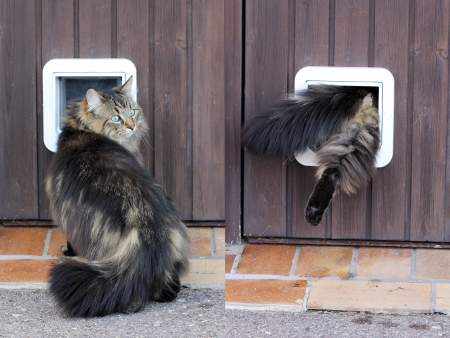 flap: Collage - A Norwegian cat goes through her cat flap Stock Photo