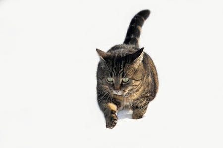 cat walk: Cat walk through the snow Stock Photo