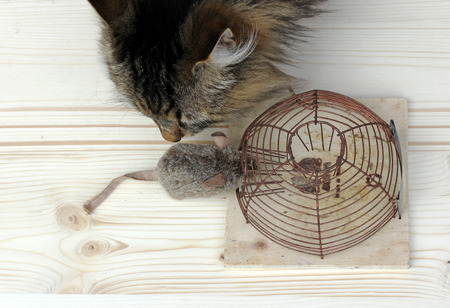 who is the better mouse hunter, the cat or the mousetrap Stock Photo - 27335414