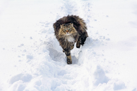 Norwegian Waldkatze runs by the snow Stock Photo - 27335464
