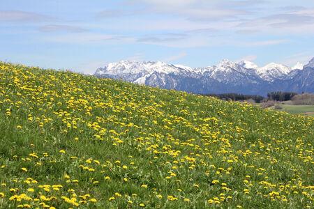 dandelion snow: Dandelion flower in springtime in Bavaria Germany