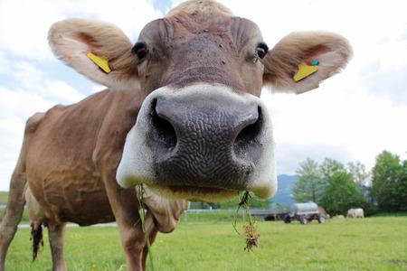 A curious cow photo