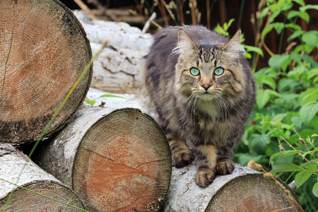 A Norwegian Forest Cat on tree trunks