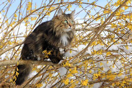 Norwegian Forest Cat in the spring
