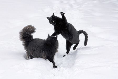 suspense: two black cats playing in the snow