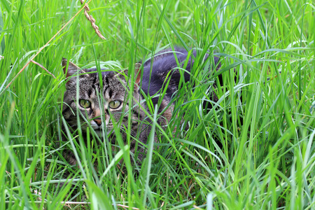 sneaking: A cat hiding in the grass