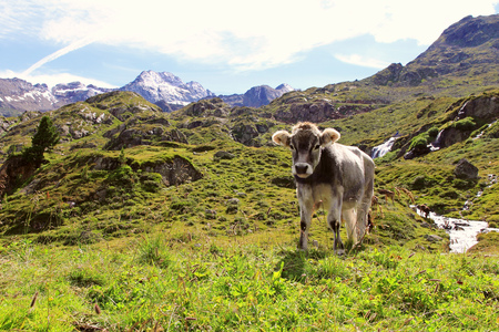 A young cow in the mountains Stock Photo
