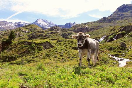 Een jonge koe in de bergen Stockfoto