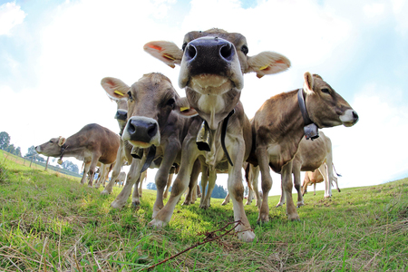 Curious young cows
