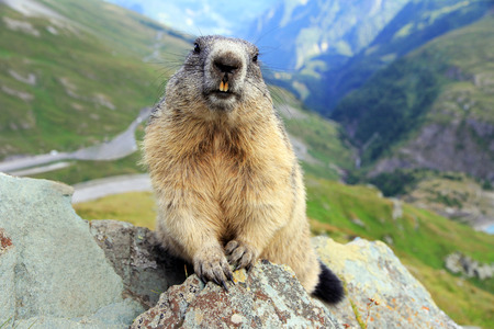 a woodchuck in the mountains Stock Photo