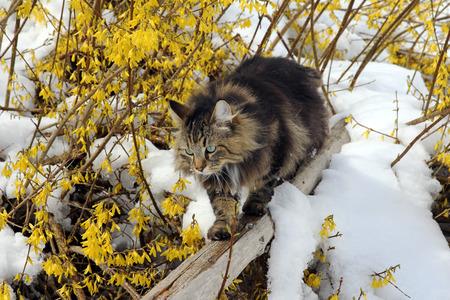 A Norwegian Forest cat climbs like