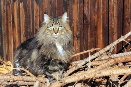 Norwegian Forest Cat on a woodpile Standard-Bild