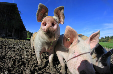 three pigs on the farm photo