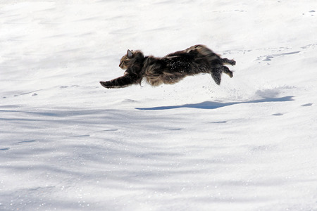 A Norwegian Forest cat runs through the snow