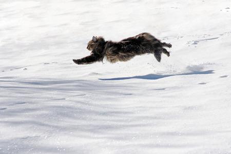 Eine norwegische Waldkatze läuft durch den Schnee Standard-Bild - 33896033