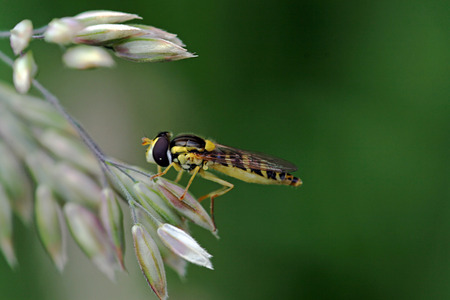 fine legs: a striped fly on a flower Stock Photo