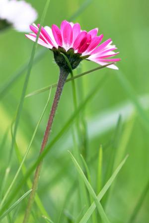 vernal: close up of daisy Stock Photo