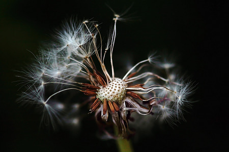 fade away: dandelion in the spring