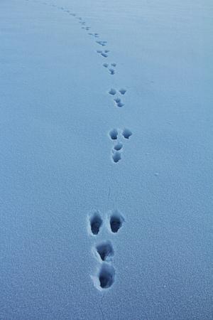 토끼의 겨울  눈의 토끼 트랙