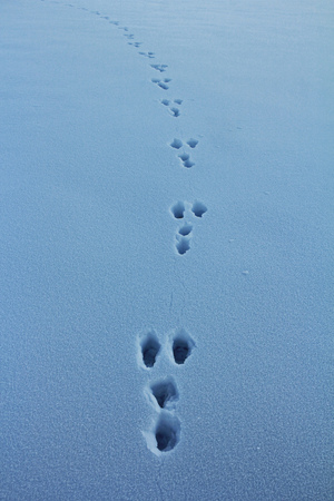 Hare in Winter / hare tracks in the snow