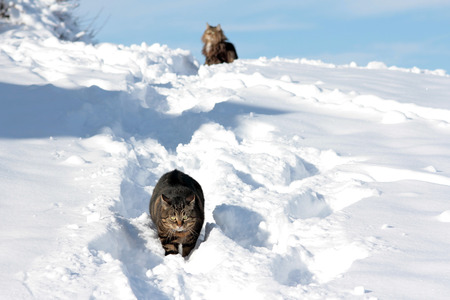 deep powder snow: have two cats having fun in snow