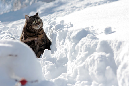 deep powder snow: A cat in deep snow