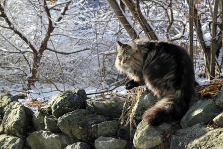 cat grooming: A Norwegian Forest Cat in Winter