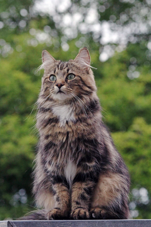 a young Norwegian forest cat