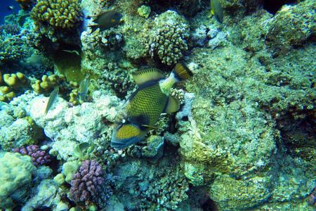 triggerfish: A Titan triggerfish in the Red Sea